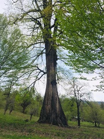 درختان بلوط کهنسال روستای نفت چال سوادکوه شمالی