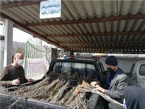 توزيع رايگان ۴۰۰۰ اصله نهال توت اصلاحشده بين نوغانداران سوادکوهشمالي