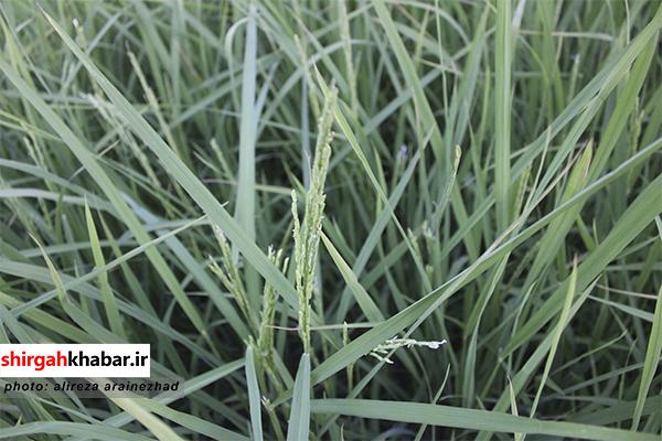 ظهور نخستین خوشههای برنج در شالیزارهای سوادکوه شمالی