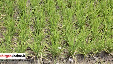 خشکسالی اراضی کشاورزی روستای عالم کلا لفور