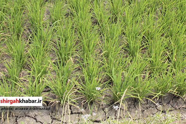 خشکسالی در ۵۰ هکتار از اراضی شالیزاری روستای عالم کلا لفور